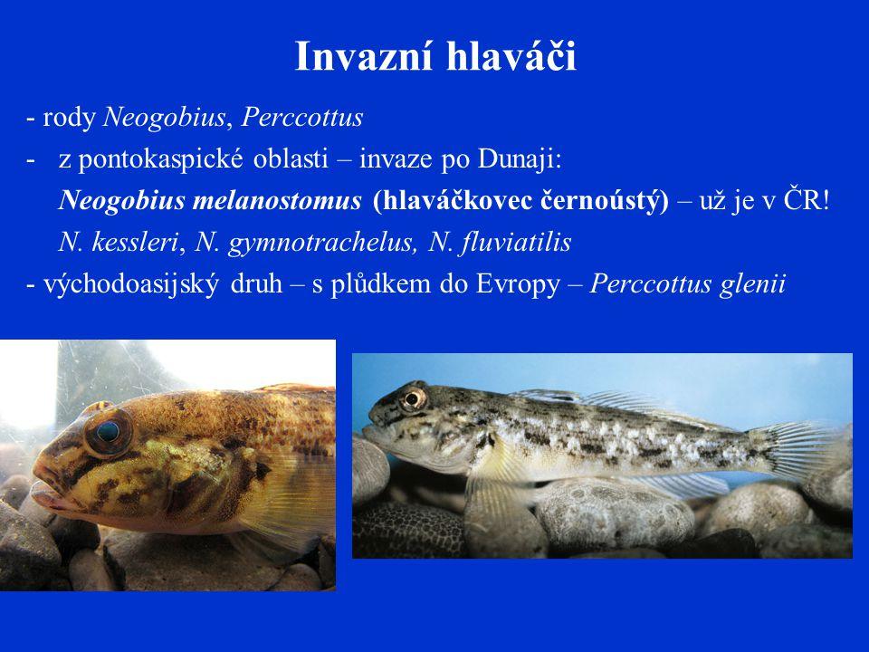 Invazní hlaváči - rody Neogobius, Perccottus