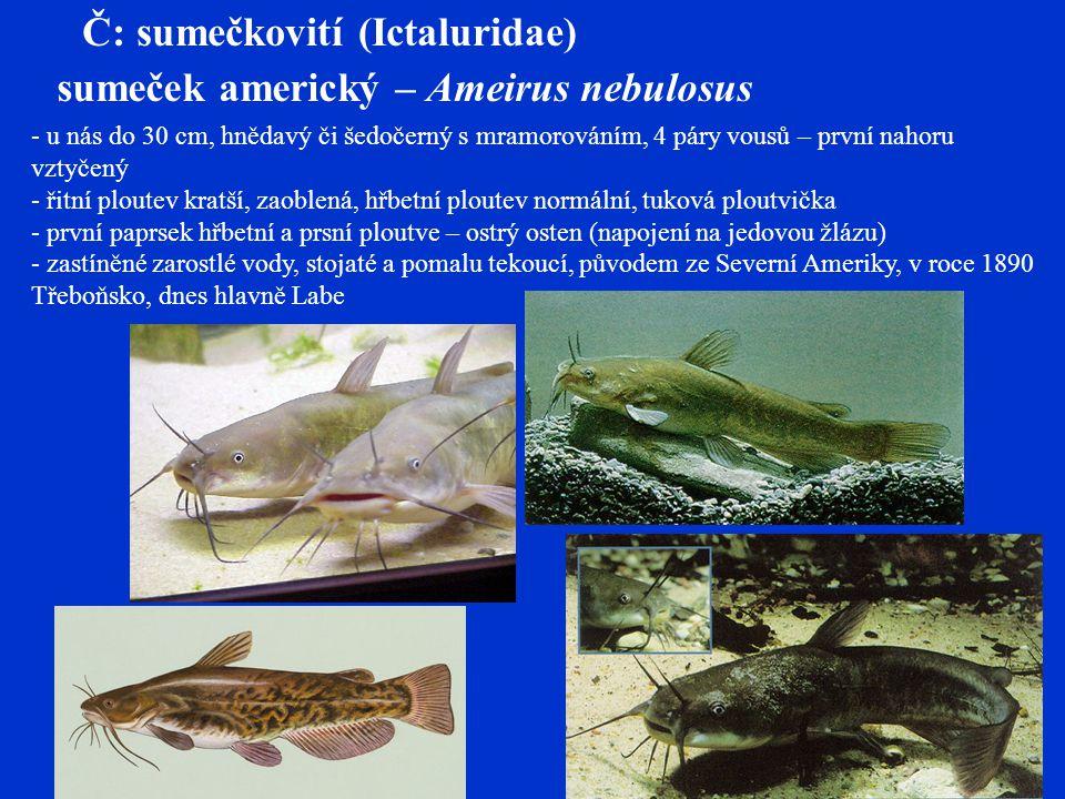Č: sumečkovití (Ictaluridae) sumeček americký – Ameirus nebulosus