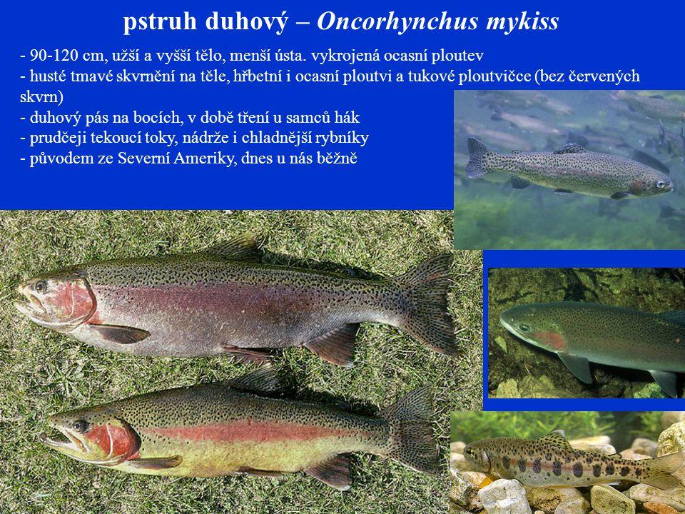 pstruh duhový – Oncorhynchus mykiss