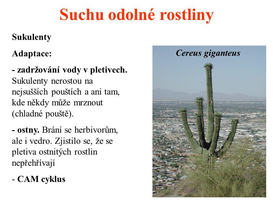 Suchu odolné rostliny Sukulenty Adaptace: