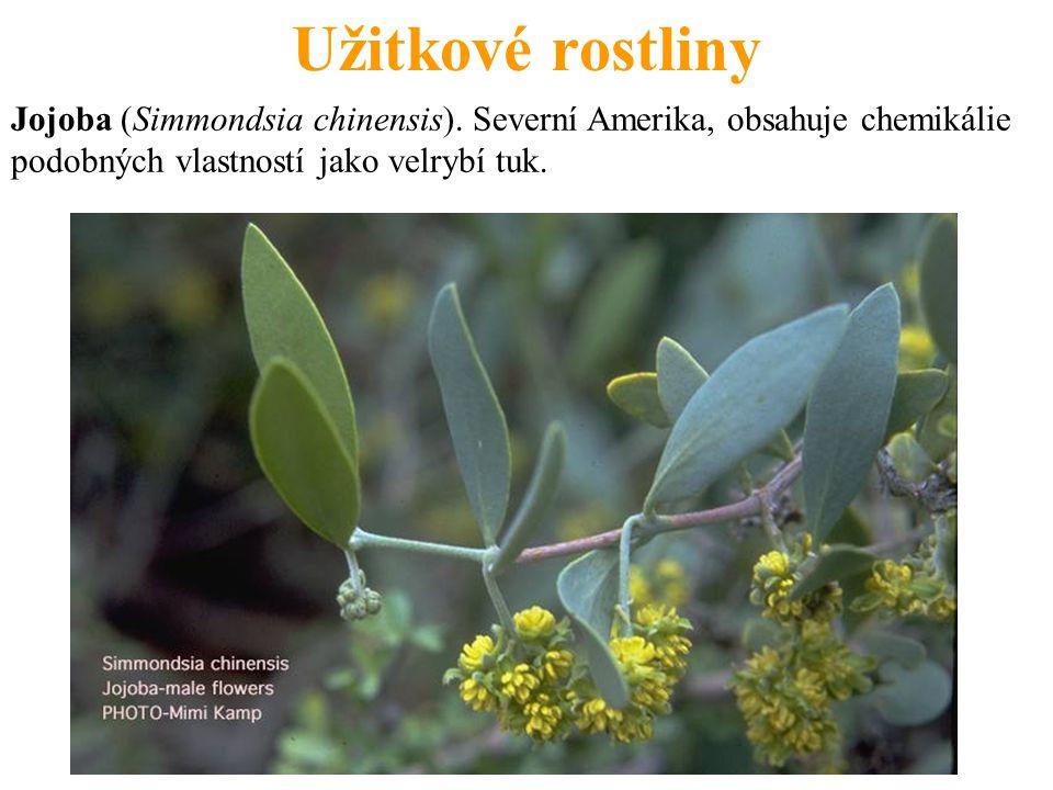 Užitkové rostliny Jojoba (Simmondsia chinensis).