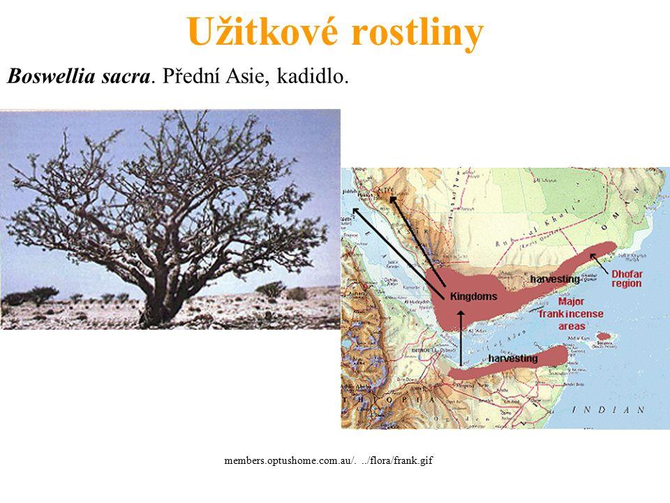 Užitkové rostliny Boswellia sacra. Přední Asie, kadidlo.