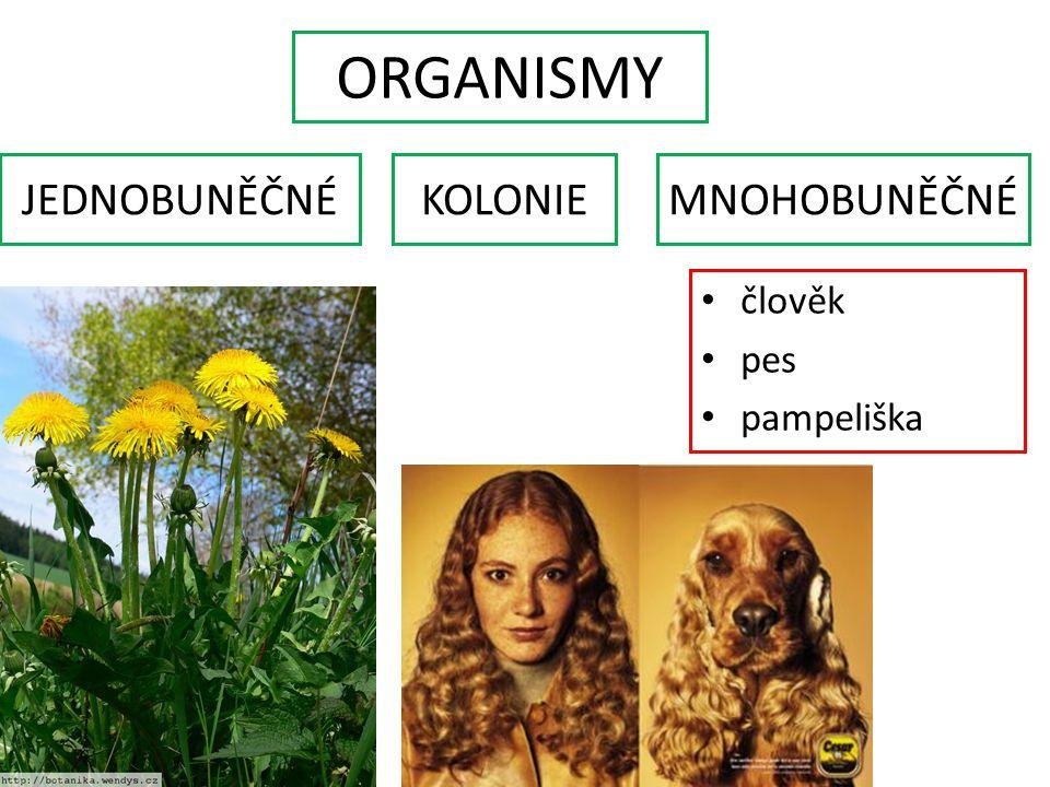 ORGANISMY JEDNOBUNĚČNÉ KOLONIE MNOHOBUNĚČNÉ člověk pes pampeliška