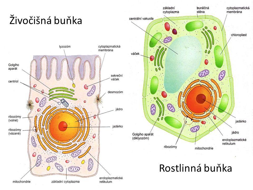 Živočišná buňka Rostlinná buňka