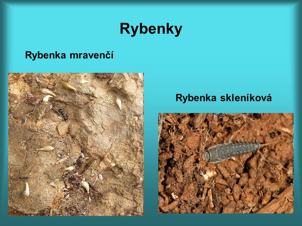 Rybenky Rybenka mravenčí Rybenka skleníková