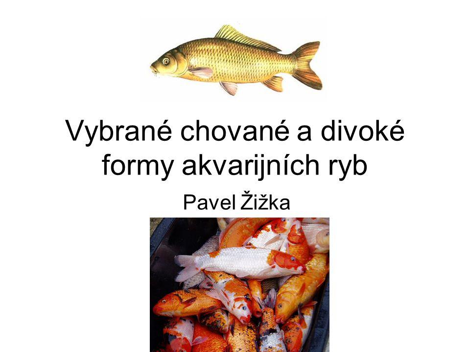 Vybrané chované a divoké formy akvarijních ryb