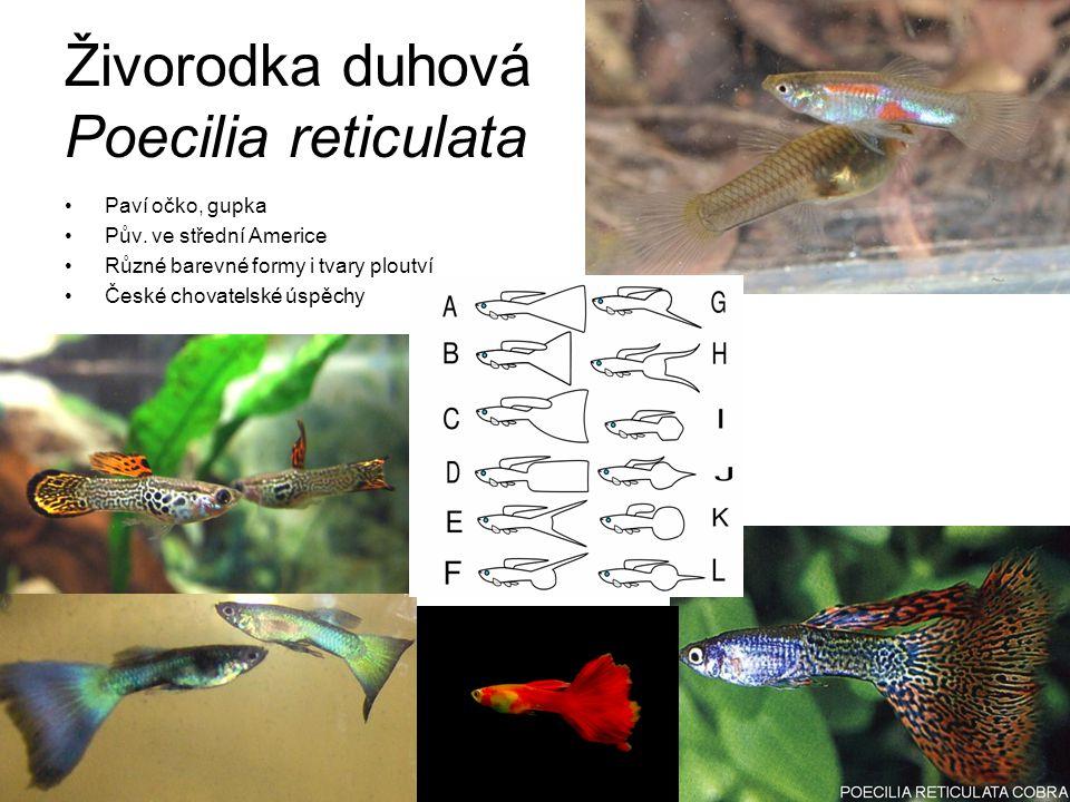 Živorodka duhová Poecilia reticulata