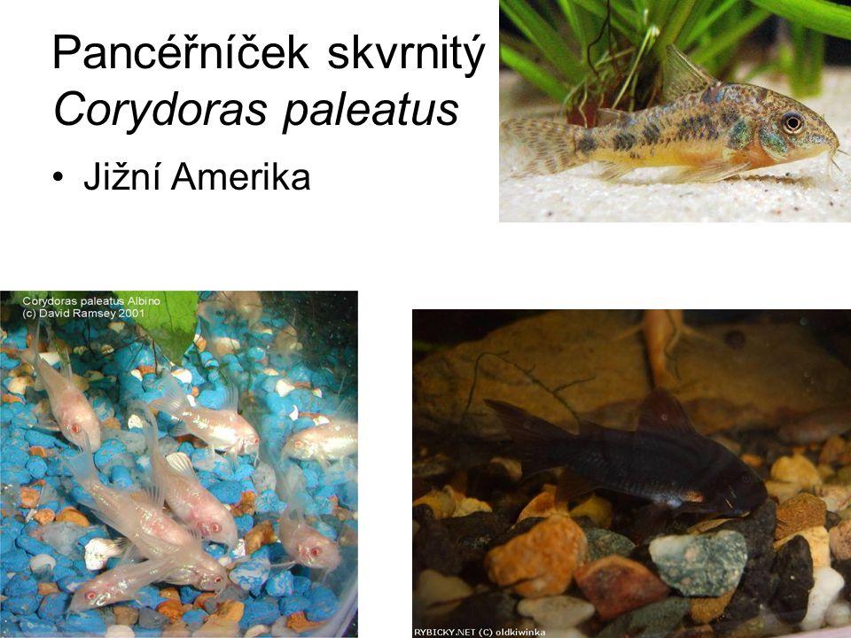 Pancéřníček skvrnitý Corydoras paleatus