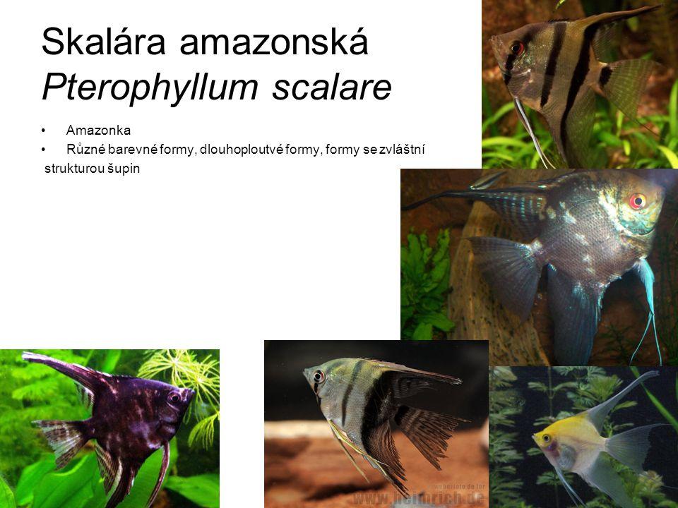 Skalára amazonská Pterophyllum scalare
