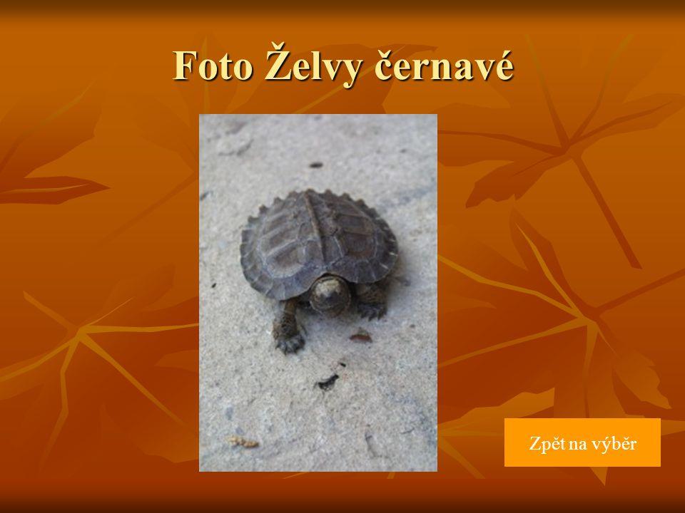 Foto Želvy černavé Zpět na výběr