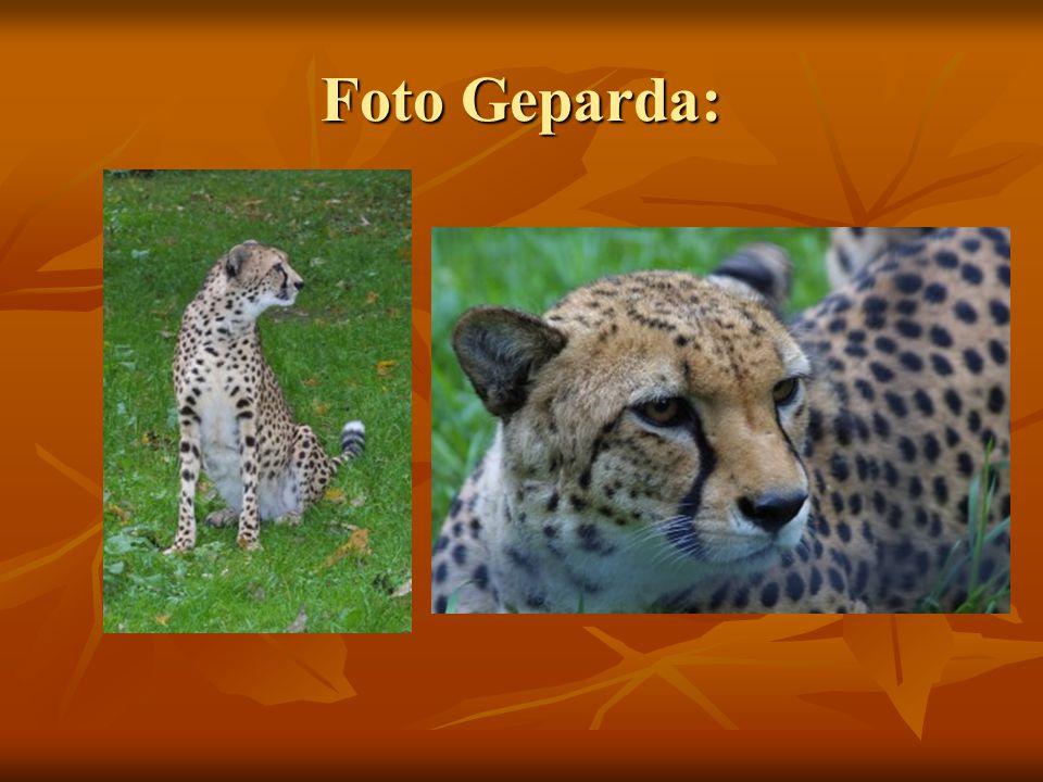 Foto Geparda: