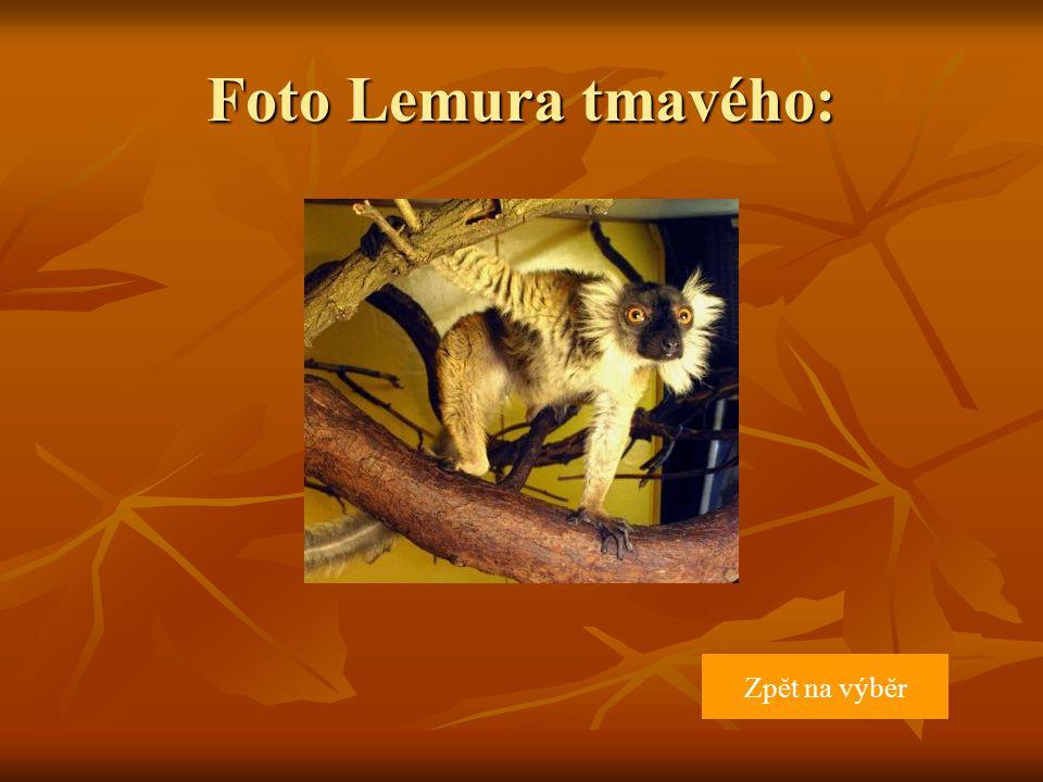 Foto Lemura tmavého: Zpět na výběr