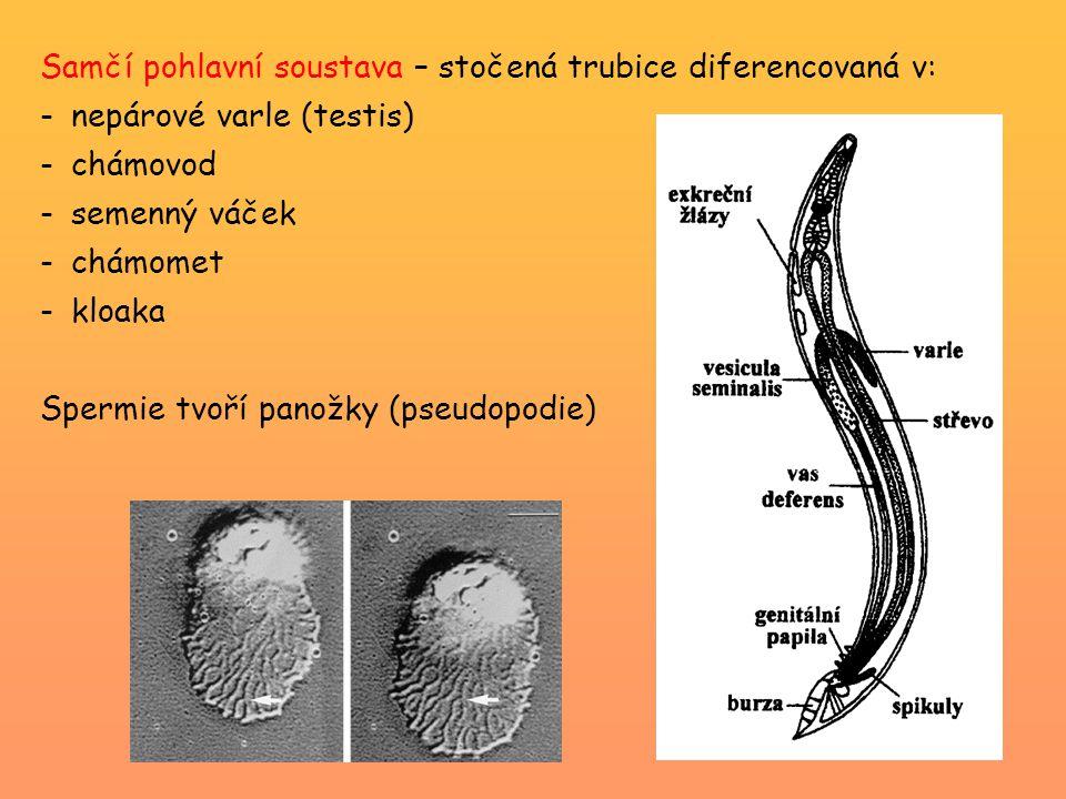 Samčí pohlavní soustava – stočená trubice diferencovaná v: