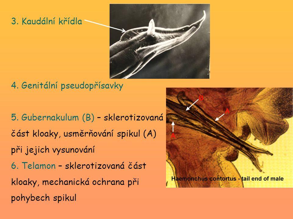 3. Kaudální křídla 4. Genitální pseudopřísavky. 5. Gubernakulum (B) – sklerotizovaná část kloaky, usměrňování spikul (A) při jejich vysunování.
