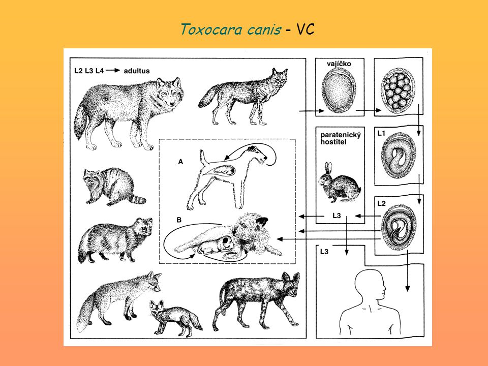 Toxocara canis - VC