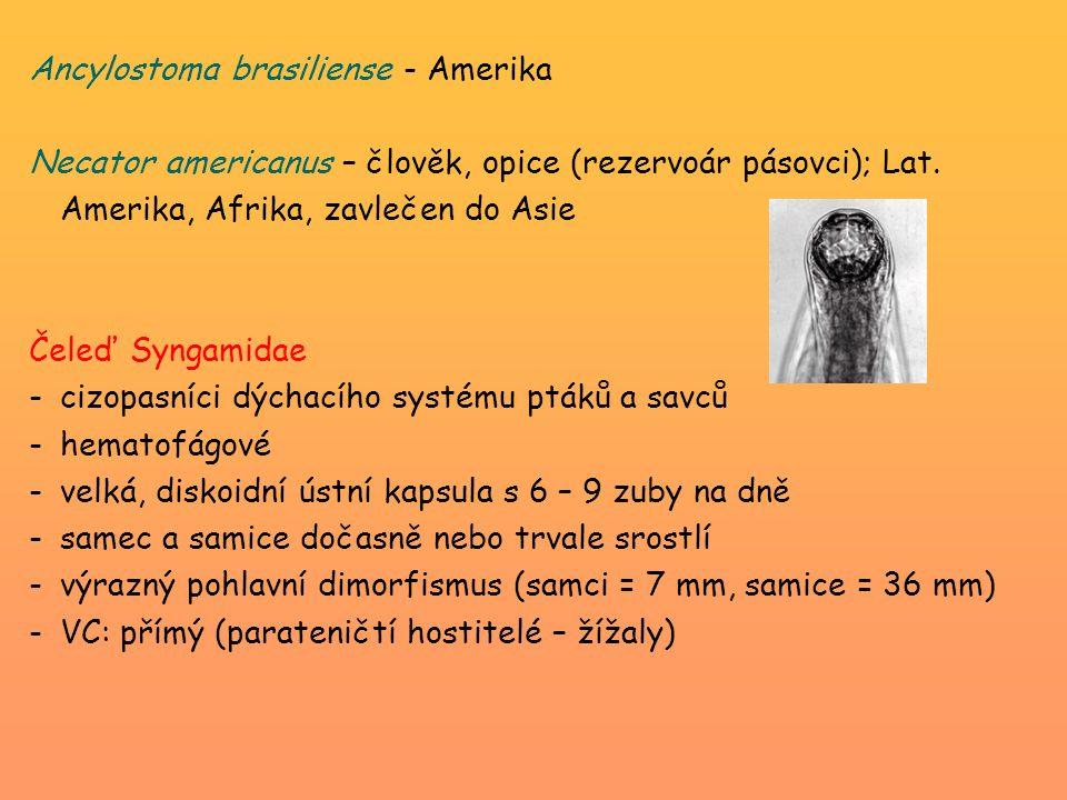 Ancylostoma brasiliense - Amerika