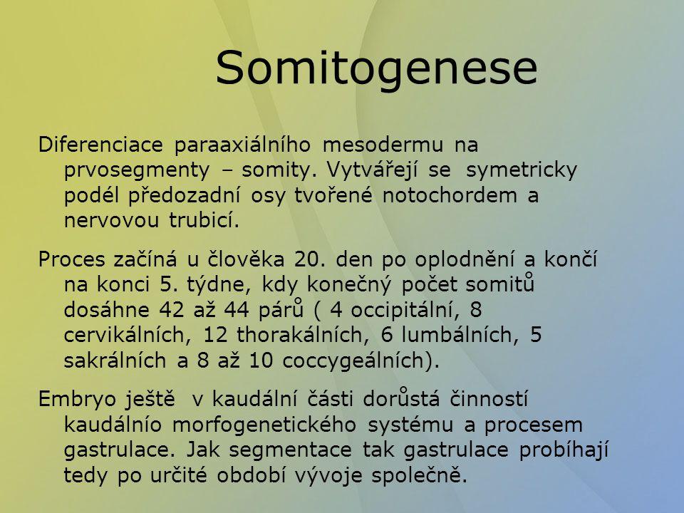 Somitogenese