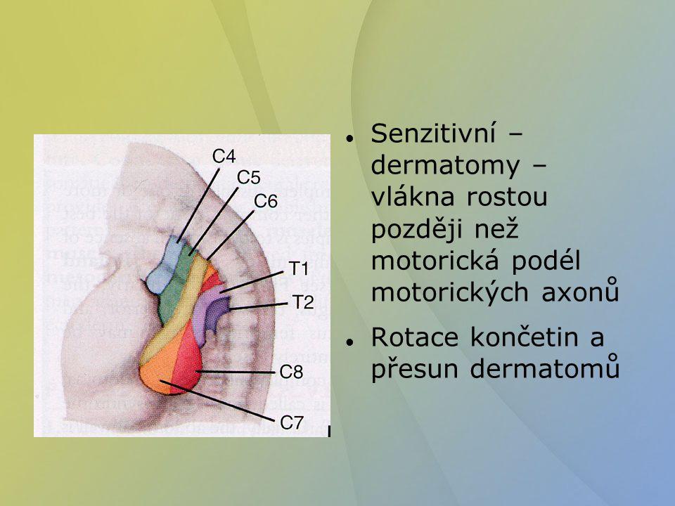Senzitivní – dermatomy – vlákna rostou později než motorická podél motorických axonů