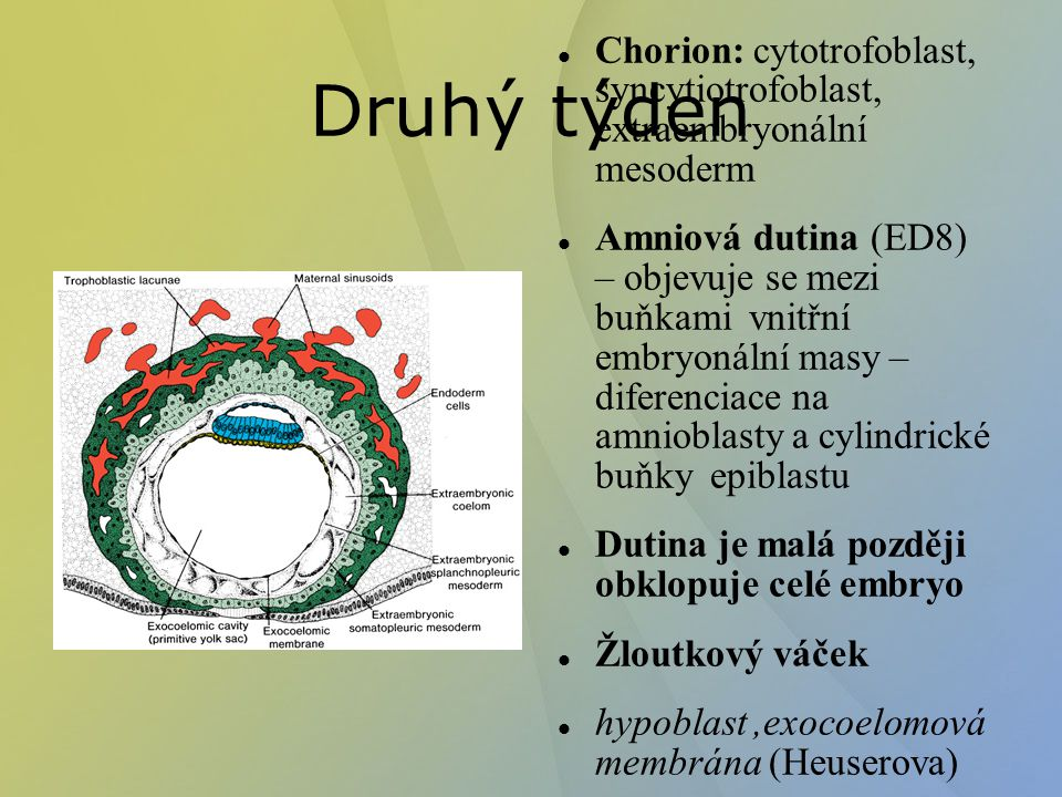 Chorion: cytotrofoblast, syncytiotrofoblast, extraembryonální mesoderm