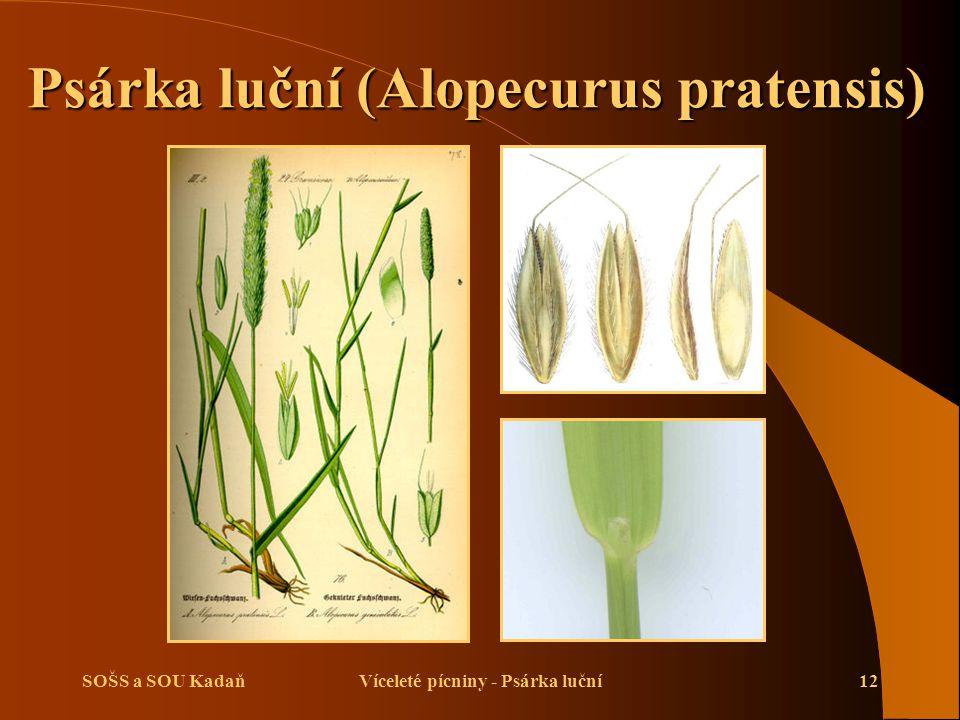 Psárka luční (Alopecurus pratensis) Víceleté pícniny - Psárka luční