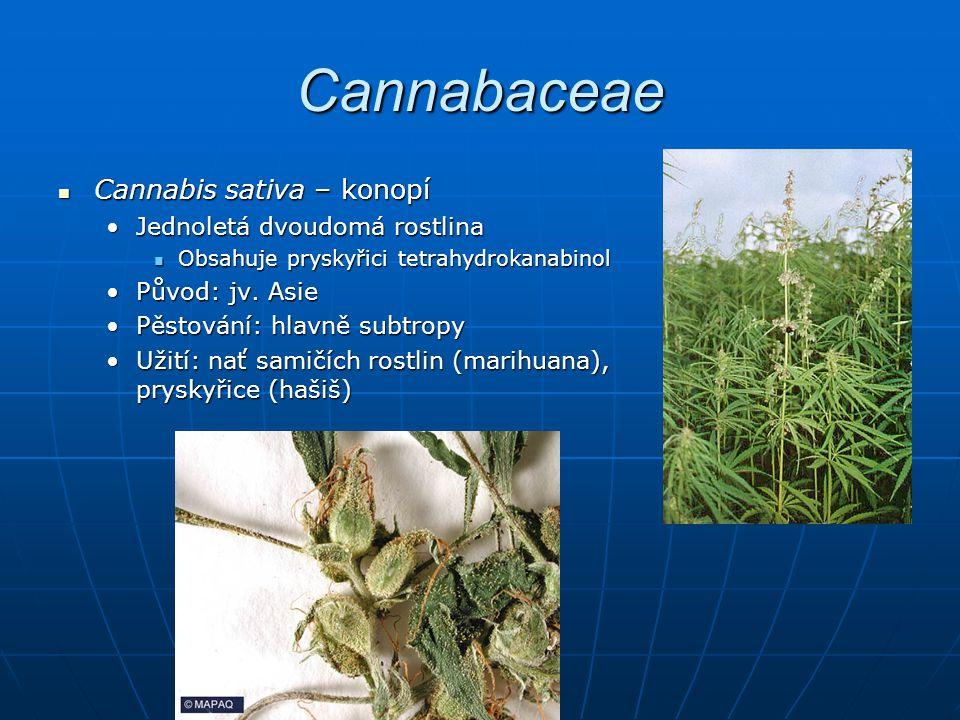 Cannabaceae Cannabis sativa – konopí Jednoletá dvoudomá rostlina