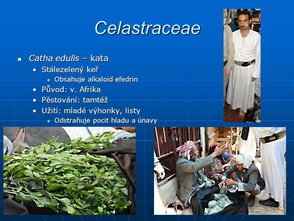 Celastraceae Catha edulis – kata Stálezelený keř Původ: v. Afrika