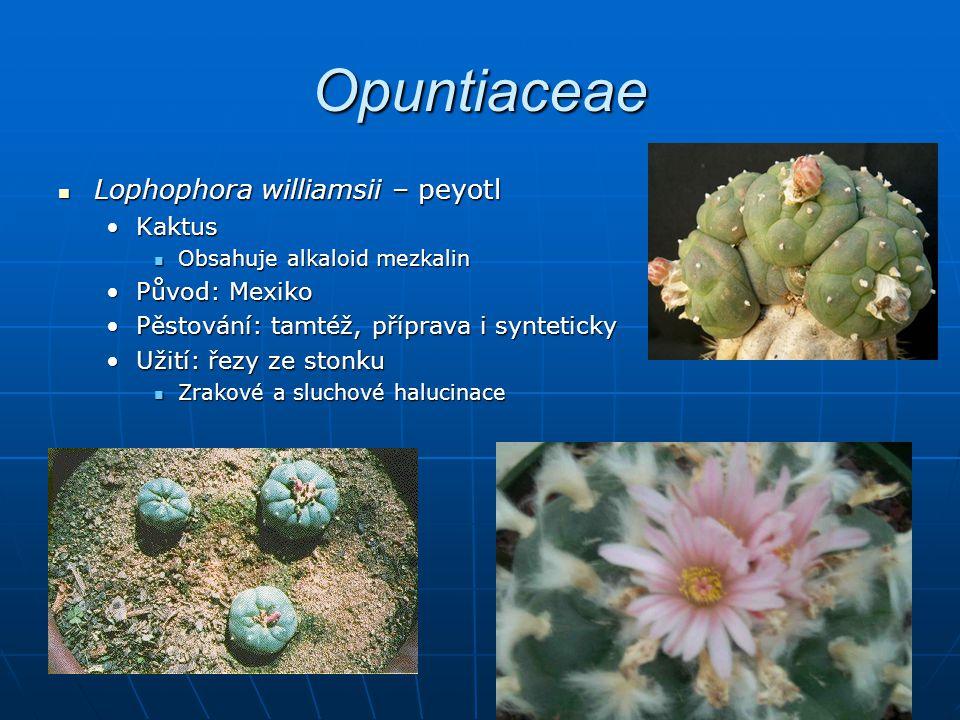 Opuntiaceae Lophophora williamsii – peyotl Kaktus Původ: Mexiko