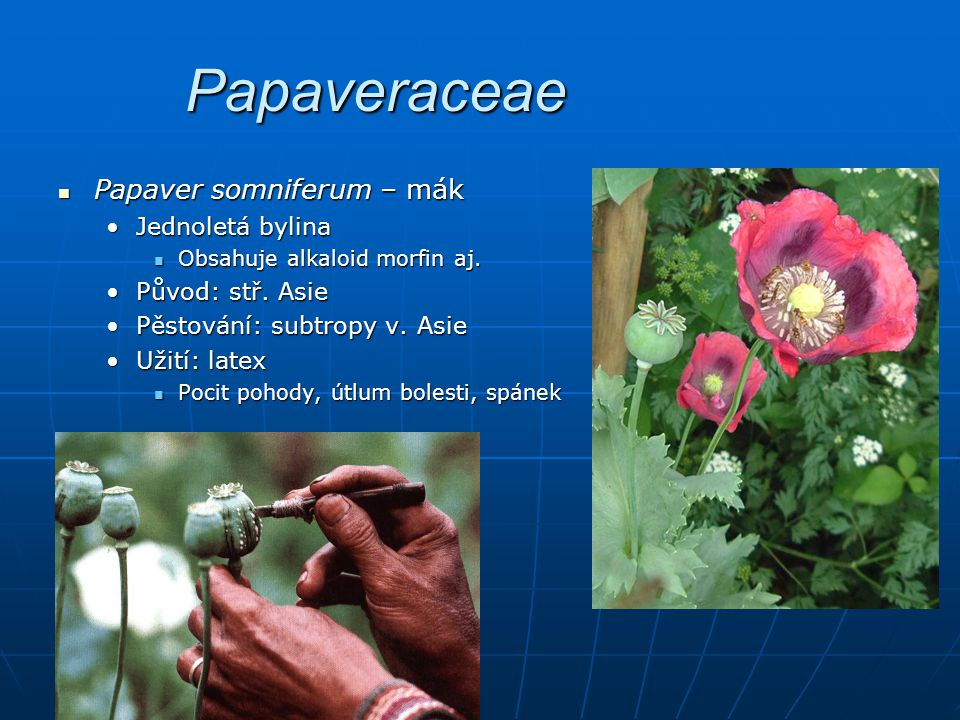 Papaveraceae Papaver somniferum – mák Jednoletá bylina