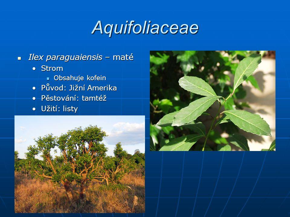 Aquifoliaceae Ilex paraguaiensis – maté Strom Původ: Jižní Amerika