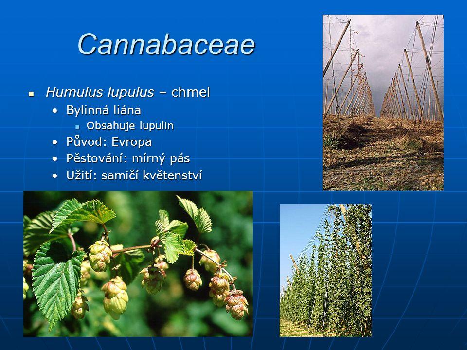 Cannabaceae Humulus lupulus – chmel Bylinná liána Původ: Evropa