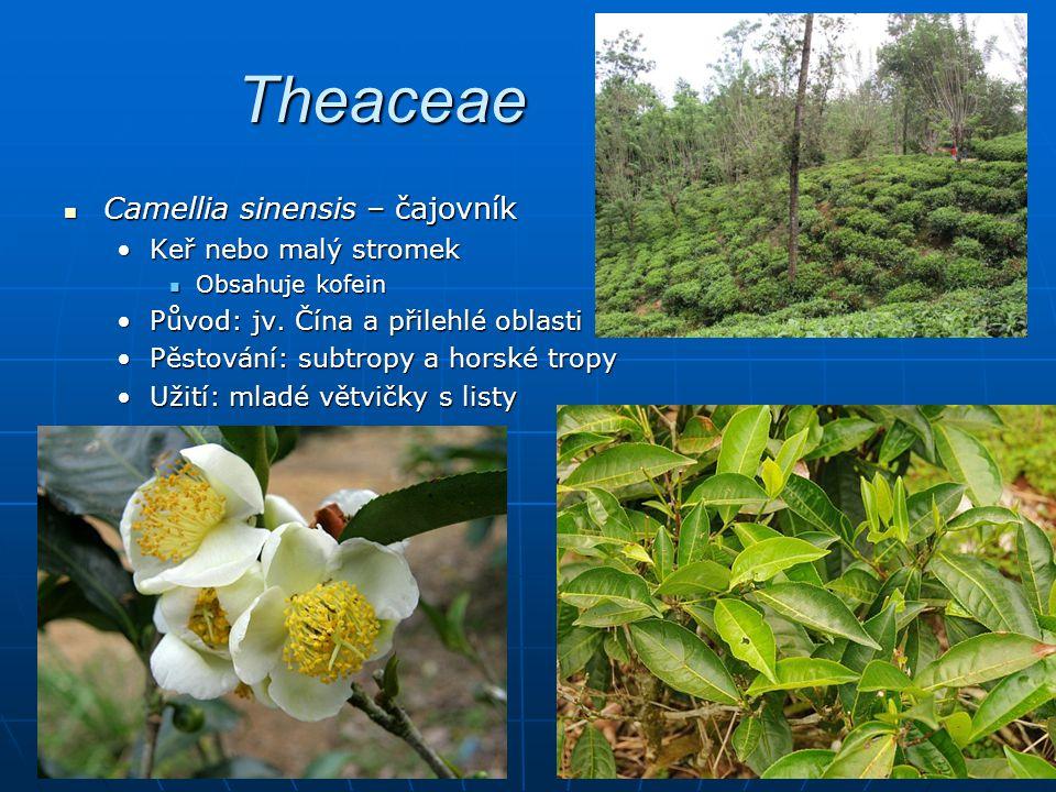 Theaceae Camellia sinensis – čajovník Keř nebo malý stromek