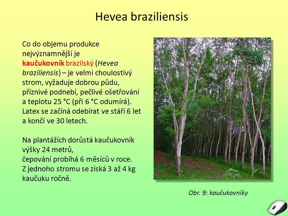 Hevea braziliensis Co do objemu produkce nejvýznamnější je