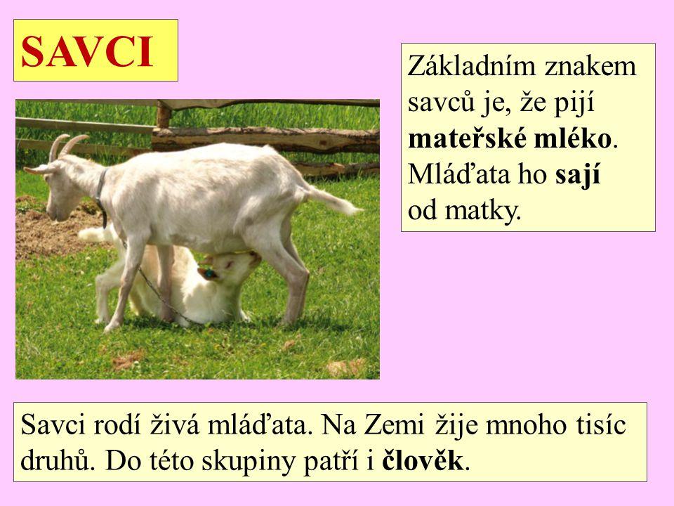 SAVCI Základním znakem savců je, že pijí mateřské mléko.