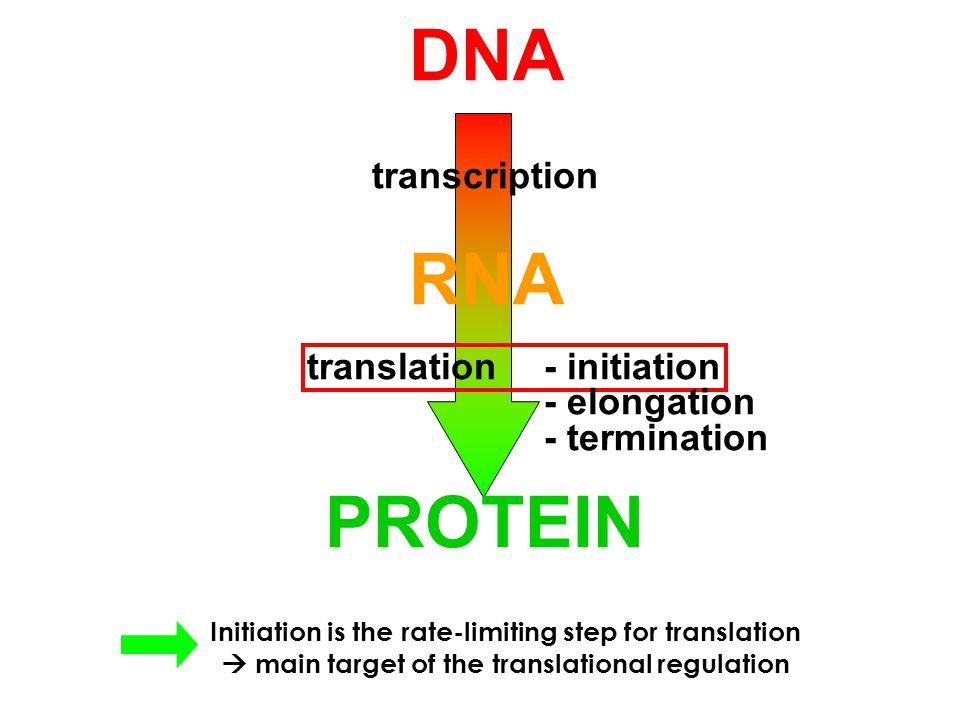 DNA. transcription. RNA. translation. - initiation. - elongation