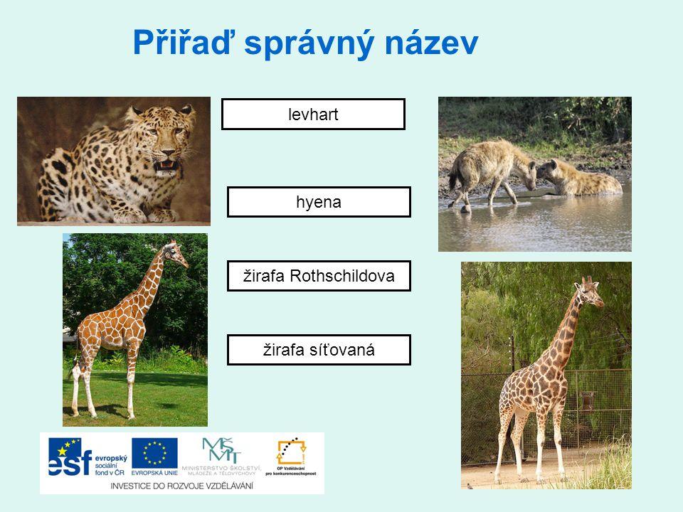 Přiřaď správný název levhart hyena žirafa Rothschildova
