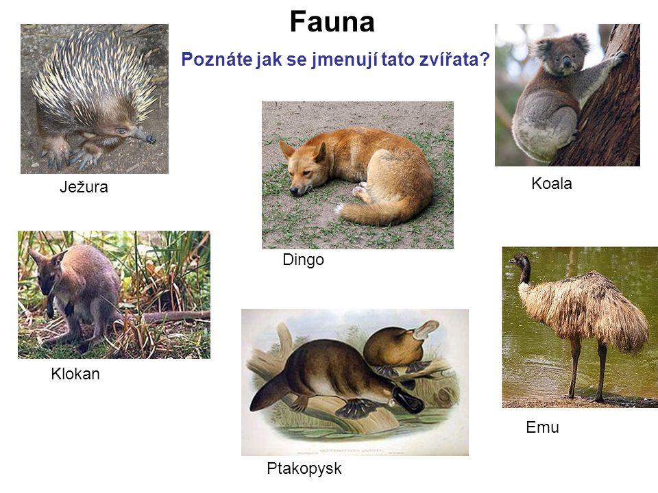 Fauna Poznáte jak se jmenují tato zvířata Koala Ježura Dingo Klokan