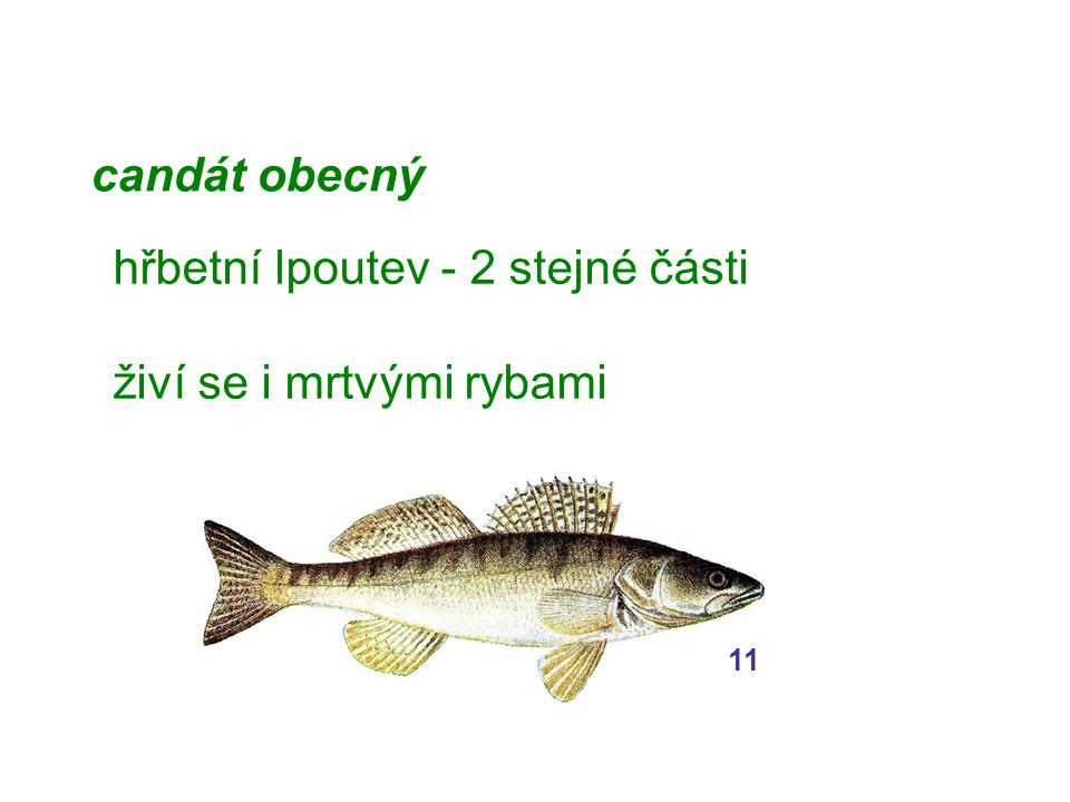 hřbetní lpoutev - 2 stejné části živí se i mrtvými rybami