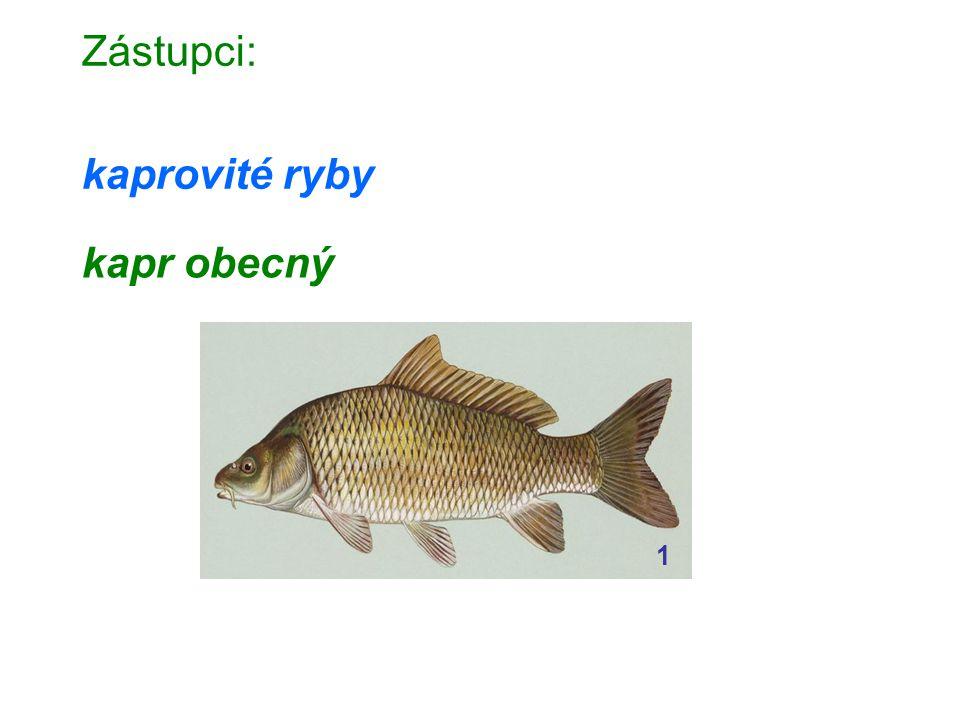 Zástupci: kaprovité ryby