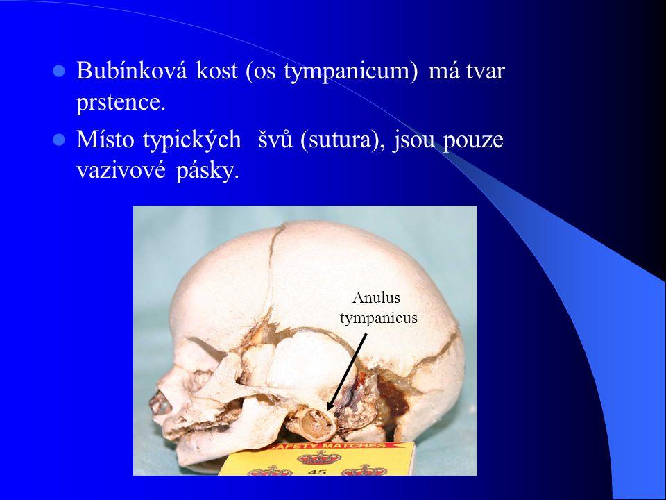 Bubínková kost (os tympanicum) má tvar prstence.