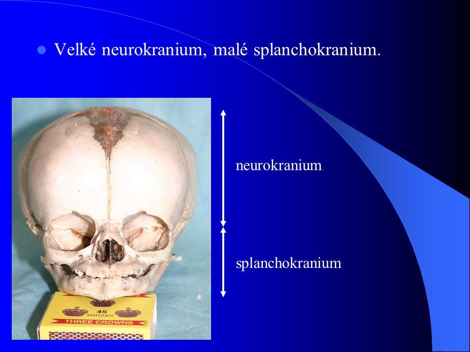 Velké neurokranium, malé splanchokranium.