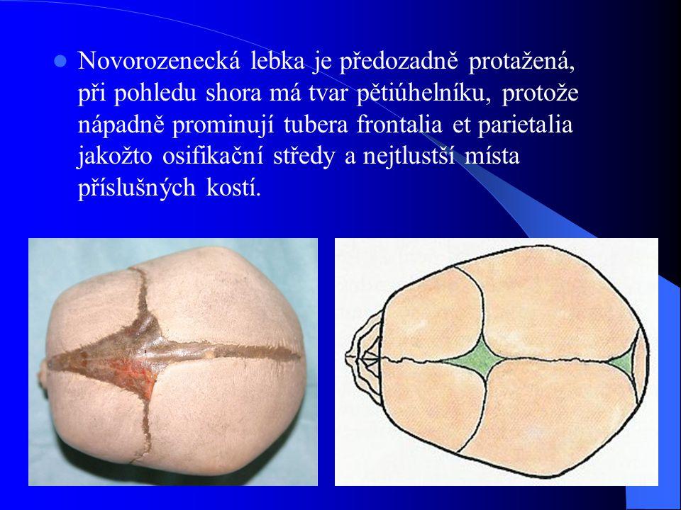 Novorozenecká lebka je předozadně protažená, při pohledu shora má tvar pětiúhelníku, protože nápadně prominují tubera frontalia et parietalia jakožto osifikační středy a nejtlustší místa příslušných kostí.