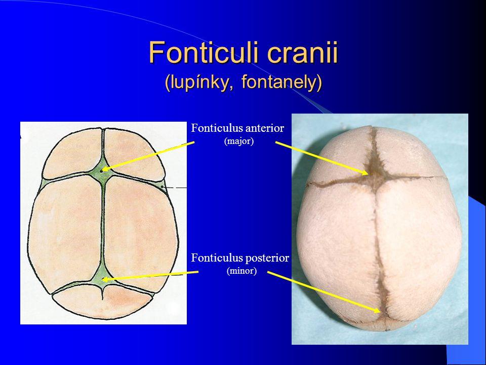 Fonticuli cranii (lupínky, fontanely)