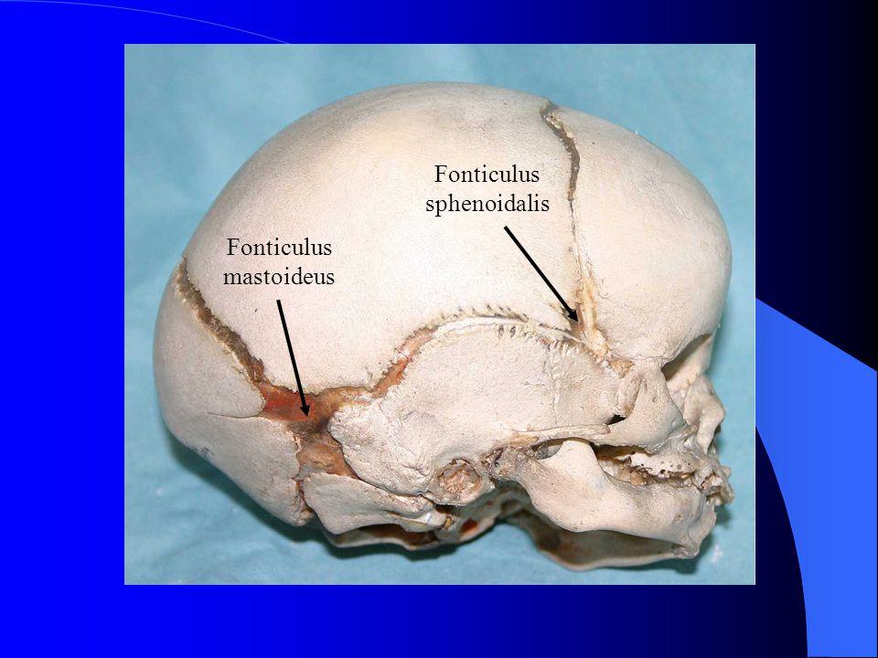 Fonticulus sphenoidalis Fonticulus mastoideus