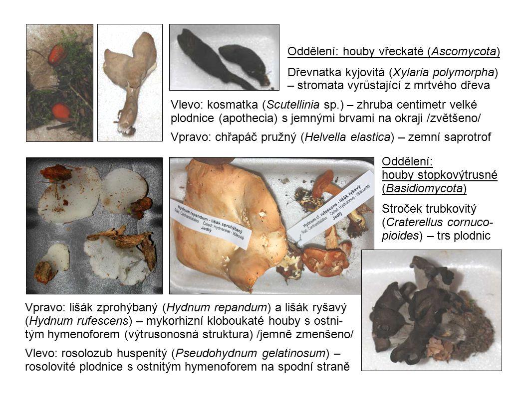 Oddělení: houby vřeckaté (Ascomycota)