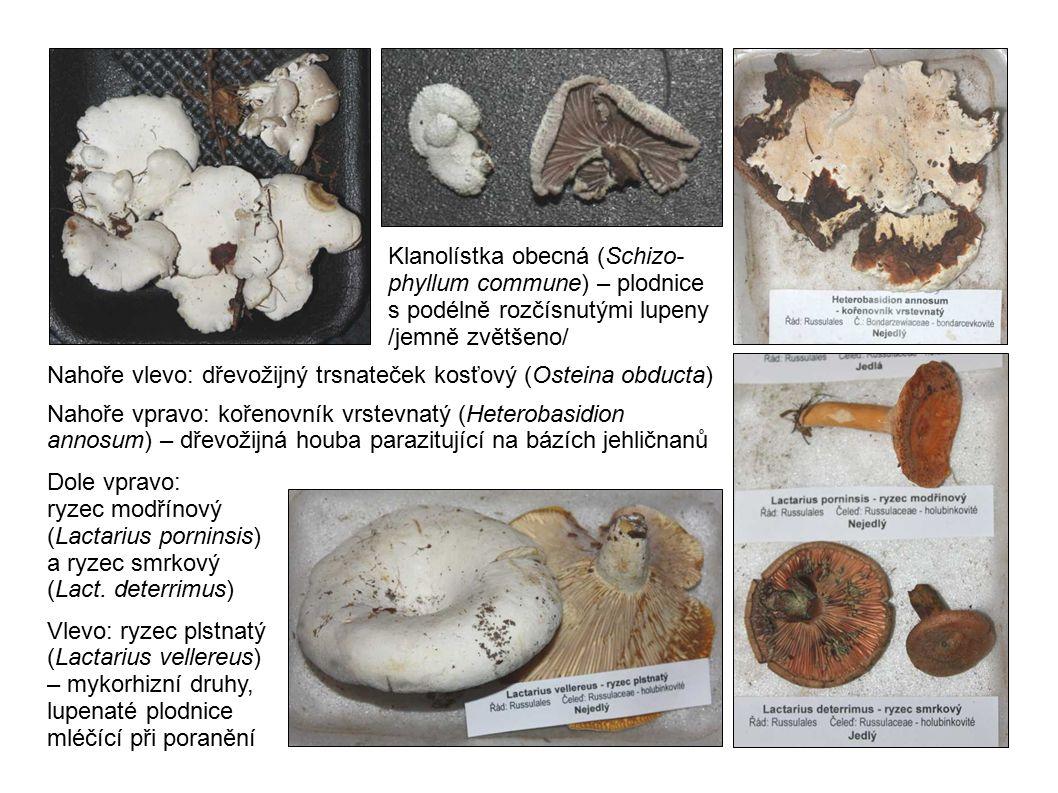 Klanolístka obecná (Schizo-phyllum commune) – plodnice s podélně rozčísnutými lupeny /jemně zvětšeno/