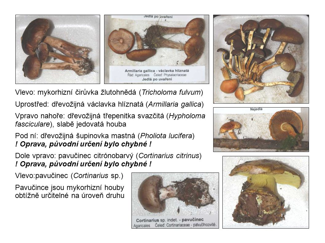 Vlevo: mykorhizní čirůvka žlutohnědá (Tricholoma fulvum)