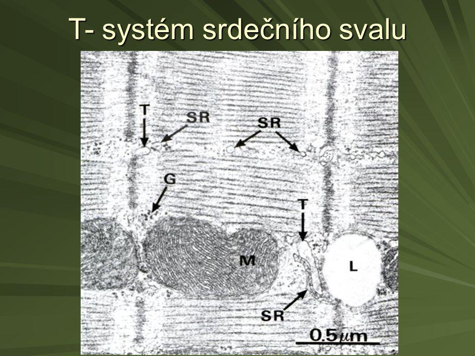 T- systém srdečního svalu