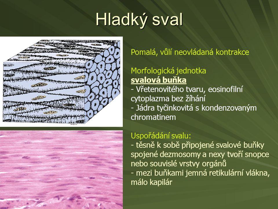 Hladký sval Pomalá, vůlí neovládaná kontrakce Morfologická jednotka