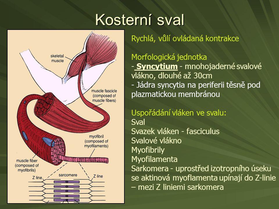 Kosterní sval Rychlá, vůlí ovládaná kontrakce Morfologická jednotka