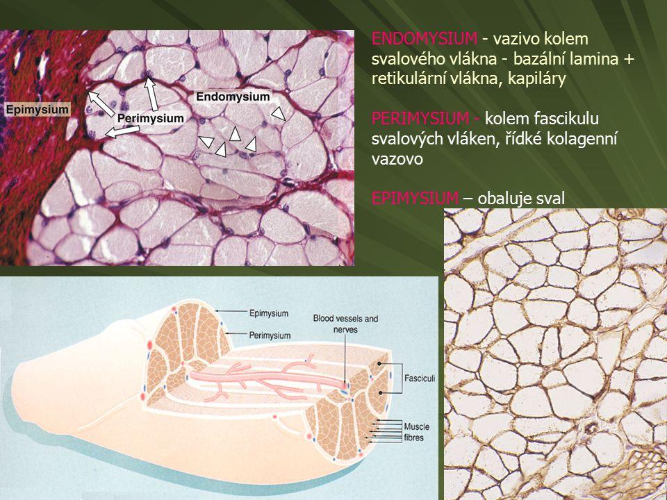 ENDOMYSIUM - vazivo kolem svalového vlákna - bazální lamina + retikulární vlákna, kapiláry